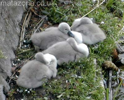 Fluffy signets. Aww!